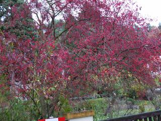 Euonymus europaeus en automne