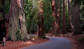 Forêt de Sequoia sempervirens