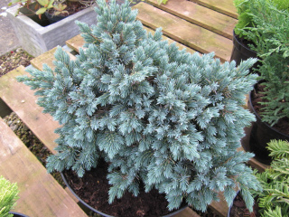 Juniperus chinensis 'Blue Star'