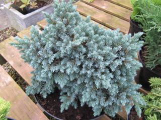 Juniperus chinensis 'Blue Star'