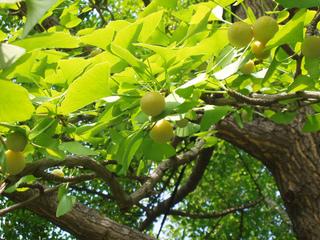 Ginkgo biloba et ses ovules très primitifs
