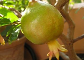 Grenade - Grenadier cultivé en pot sur un balcon