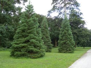 Jeunes Sequoiadendron giganteum