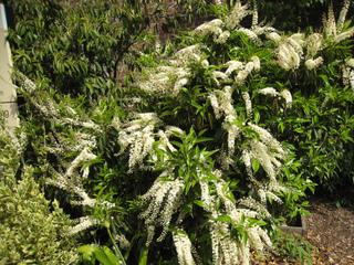 Laurier du Portugal en fleurs