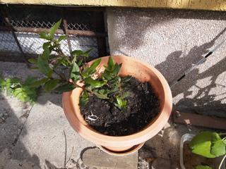 Laurier sauce (Laurus nobilis) en pot