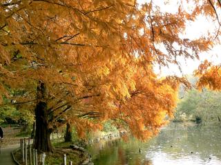 Metasequoia glyptostroboides en automne