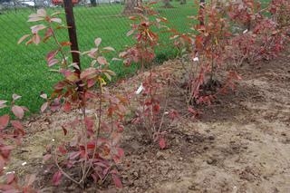Haie de photinias plantée récemment