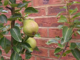Poirier en pot cultivé contre un mur