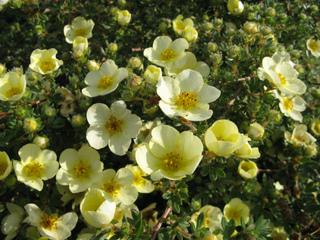 Potentille (Potentilla fruticosa 'Primrose Beauty')