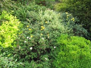 Potentilles dans un massif d'arbustes