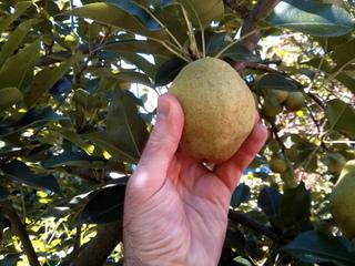 Récolte d'une poire