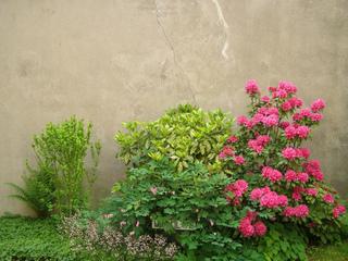 Rhododendron, Aucuba japonica, Dicentra spectabilis