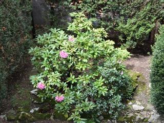 Rhododendron - Massif à l'ombre