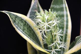 Sansevieria trifasciata - Floraison