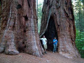 Sequoiadendron giganteum : des troncs colossaux