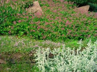 Talus végétalisé (géranium, persicaire, stachys, thym)