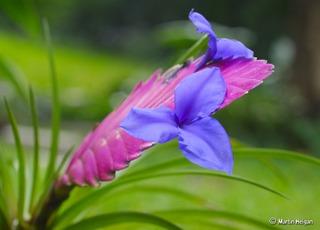 Tillandsia cyanea - Fleur
