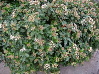 Viburnum tinus - Laurier tin