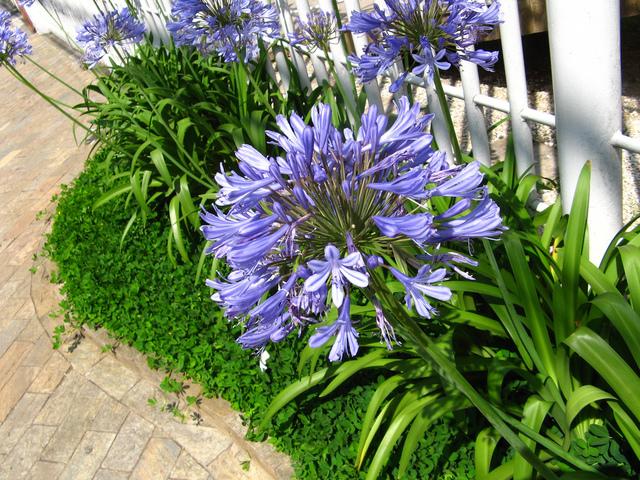 Sc nes bleu soleil avec l 39 agapanthe for Yuka plante exterieur