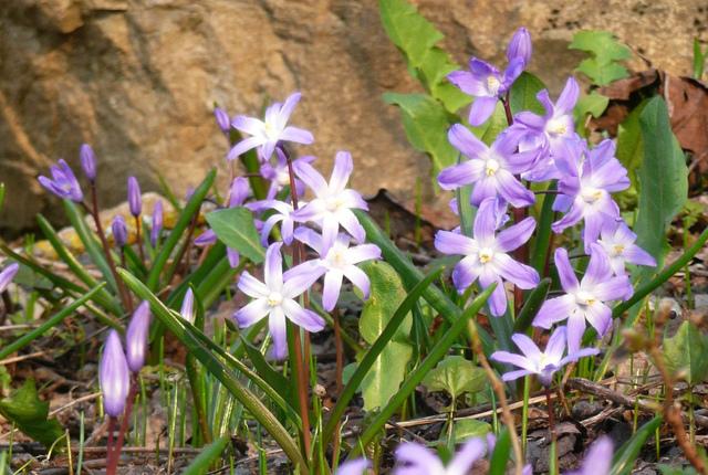 Chionodoxa, Gloire des neiges : plantation, semis, culture