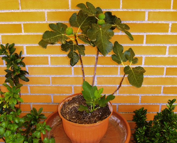 Quel fruitier pour votre balcon for Comarbuste fruitier en pot