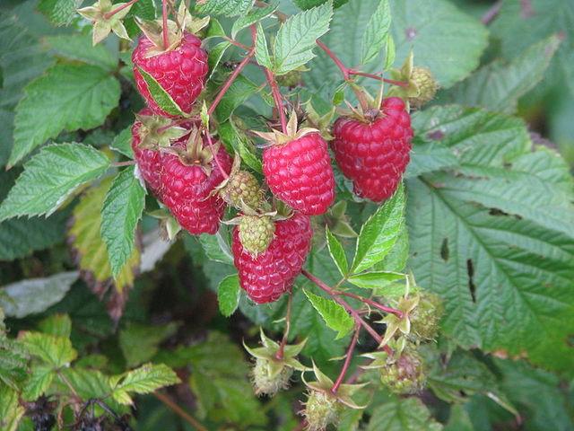 Cultiver des arbres fruitiers au jardin au verger sur un for Arbre decoratif pour petit jardin
