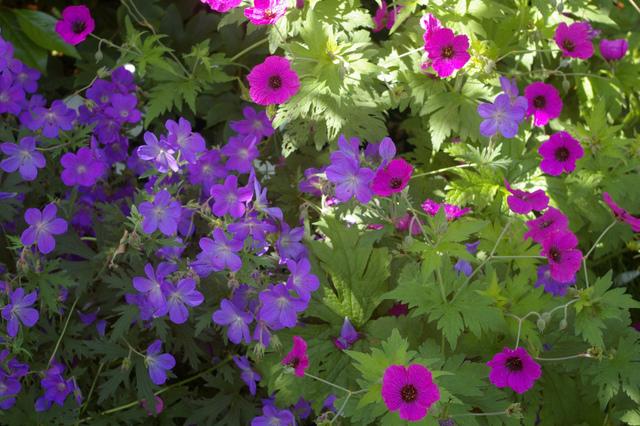Les g raniums vivaces for Plants de fleurs vivaces