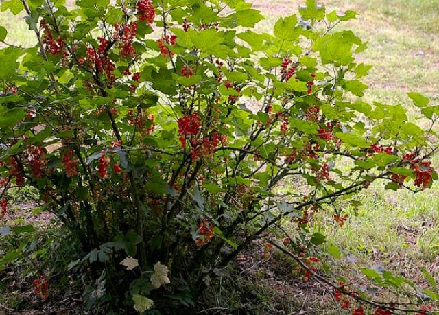 Les petits fruits au jardin