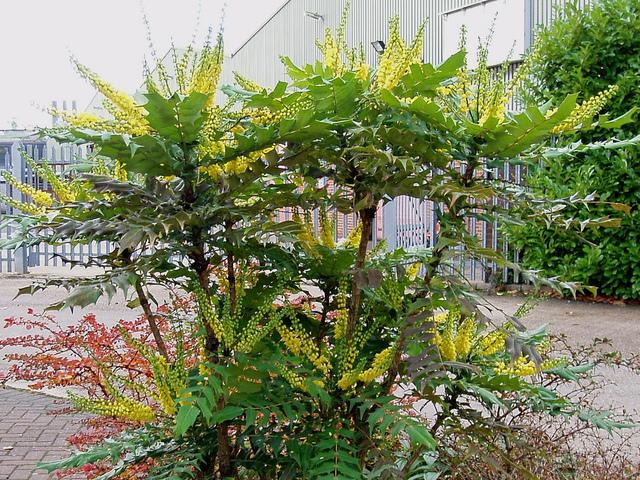 Mahonia un bel arbuste parfum persistant et fleuri en hiver for Entretien du jardin en hiver