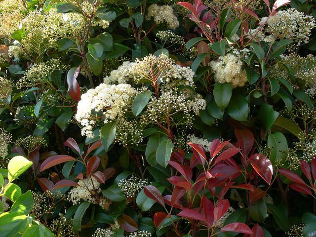 Le photinia un arbuste persistant au feuillage rouge pour tous les jardins - White flowering house plants ...