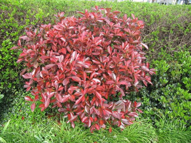 le photinia un arbuste persistant au feuillage rouge pour tous les jardins. Black Bedroom Furniture Sets. Home Design Ideas