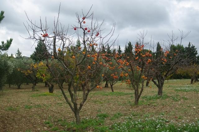 cultiver des arbres fruitiers au jardin au verger sur un balcon. Black Bedroom Furniture Sets. Home Design Ideas