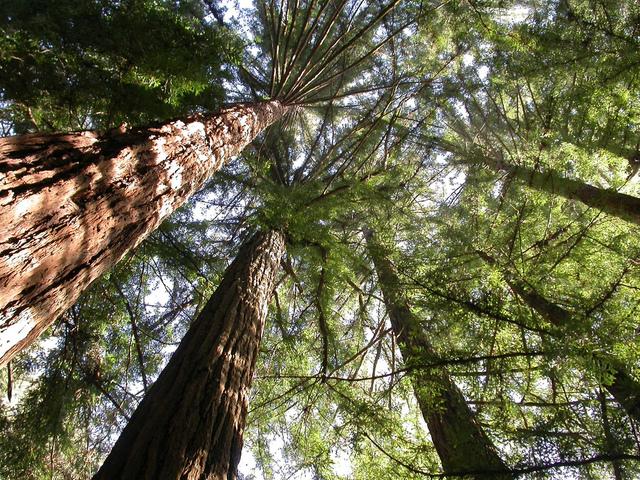 Sequoia : espèces, culture et plantation de ces arbres géants