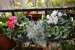 Une jardinière de cyclamens pour l'automne et l'hiver