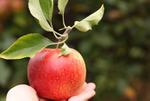 Guide des différentes variétés de pommes