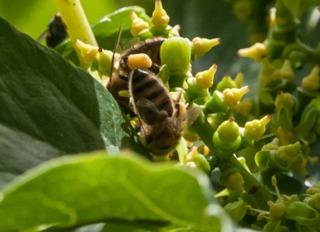 Abeille butinant une fleur de vigne