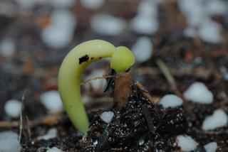 Semis de Adenium obesum : germination