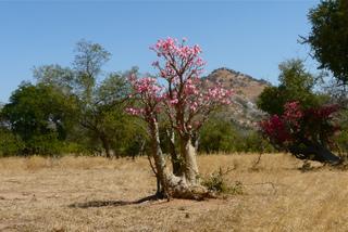 Rose du désert, Adenium obesum : culture et entretien