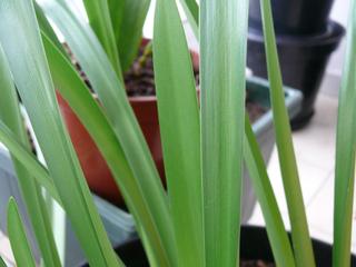 Amaryllis : feuilles