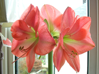 Amaryllis en fleurs