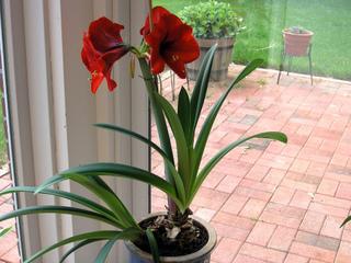 Deuxième floraison d'un bulbe d'amaryllis