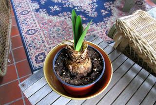 Amaryllis le faire refleurir for Arrosage amaryllis floraison