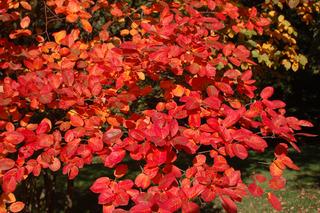 Amélanchier - Feuillage d'automne