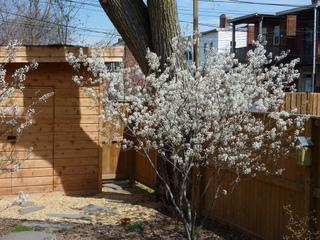 Amelanchier grandiflora en fleurs au printemps