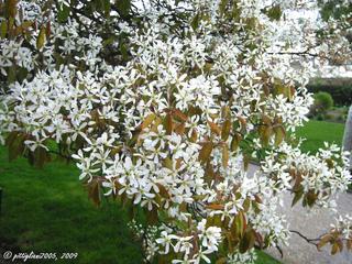 Amelanchier lamarckii en fleurs