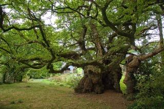 Arbre remarquable : le chêne de Tronjoly