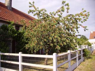 Cerisier dans un petit jardin