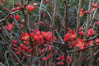 Cognassier du Japon : un arbuste épineux