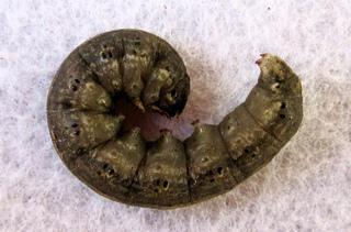 Chenille de noctuelle (Agrotis ipsilon)