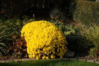 Touffe de chrysanthèmes dans un massif d'automne